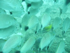 School of Fish/ Escuela de Peces