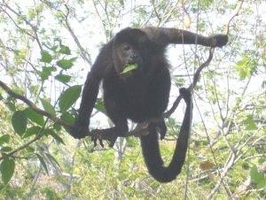 Congo -Howler Monkey