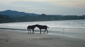 Horses roam the beaches freely