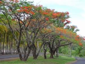 Malinch trees in bloom at Playa Carrillo