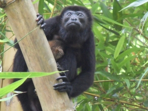 Congo - Howler Monkey
