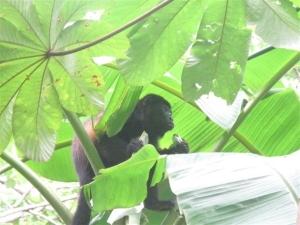 Congo eating Papaya leaves