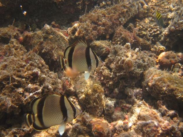 Threebanded Butterflyfish