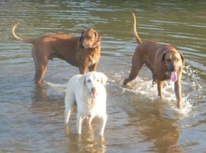 dogs on a costa rica beach